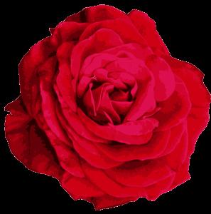 red-rose-2