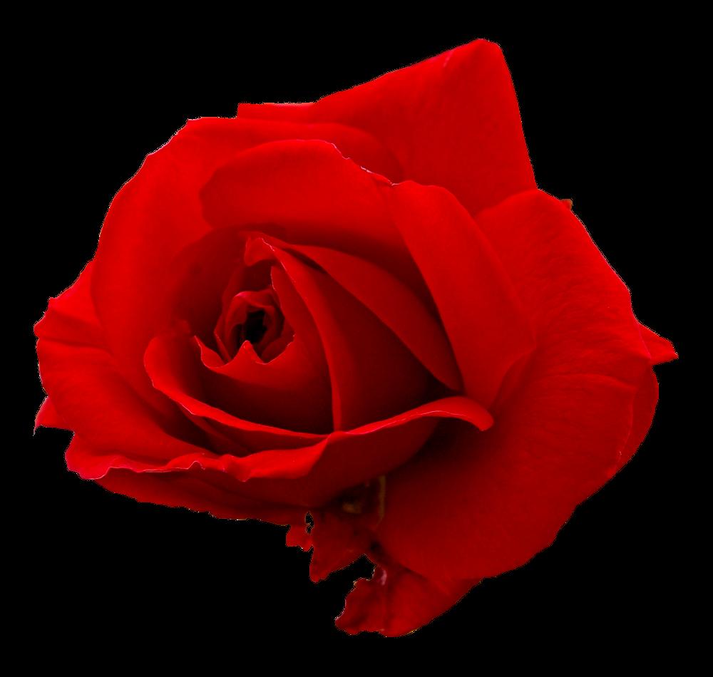 5 Flower Red Rose Png Image Transparent on Tumblr Transparent Flowers Rose