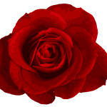 Red Rose PNG Image Transparent