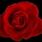 Red Rose PNG Image Transparent
