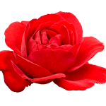 5 Flower Red Rose PNG Image Transparent