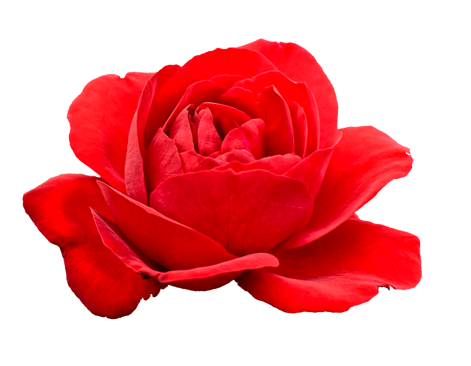 5 Flower Red Rose PNG Image Transparent | OnlyGFX.com for Vector Rose Flower Png  157uhy