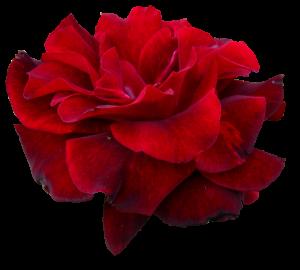 red-rose-5