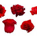 5 Flower Red Rose PNG Image Transparent