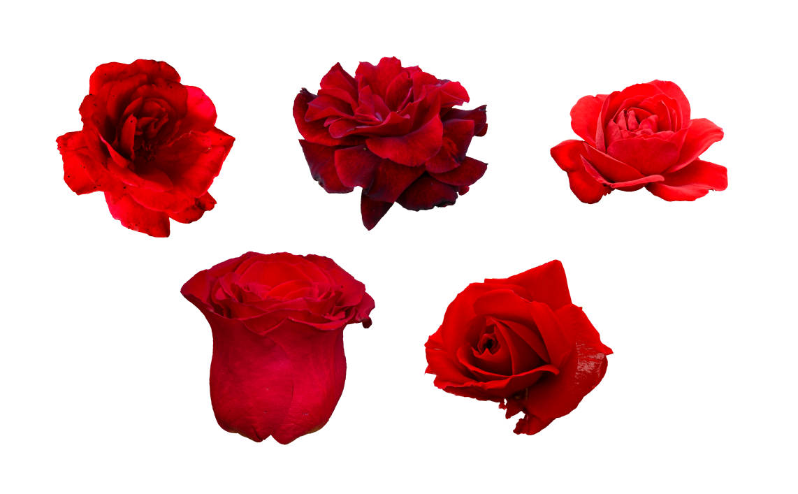 5 Flower Red Rose PNG Image Transparent | OnlyGFX.com for Transparent Png Images Roses  110yll