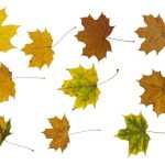 10 Maple Leaves (PNG Transparent)