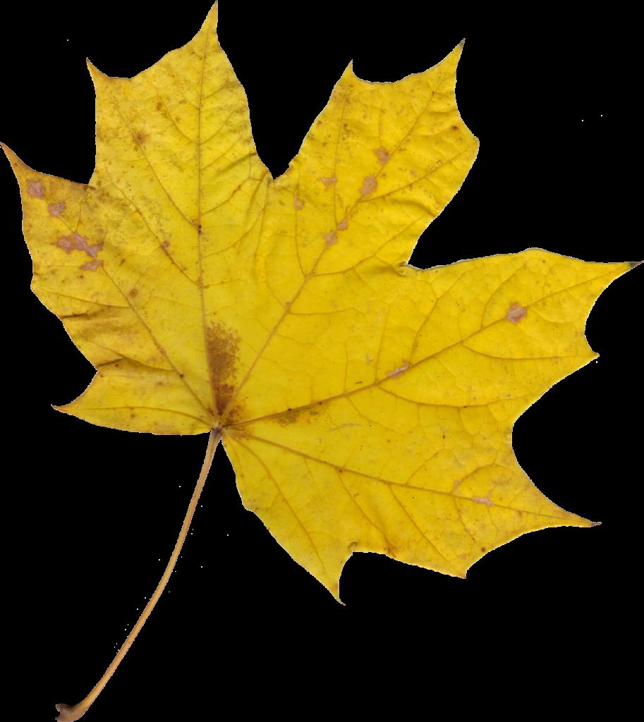 maple-leaf-10