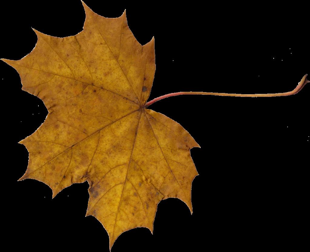 maple-leaf-3