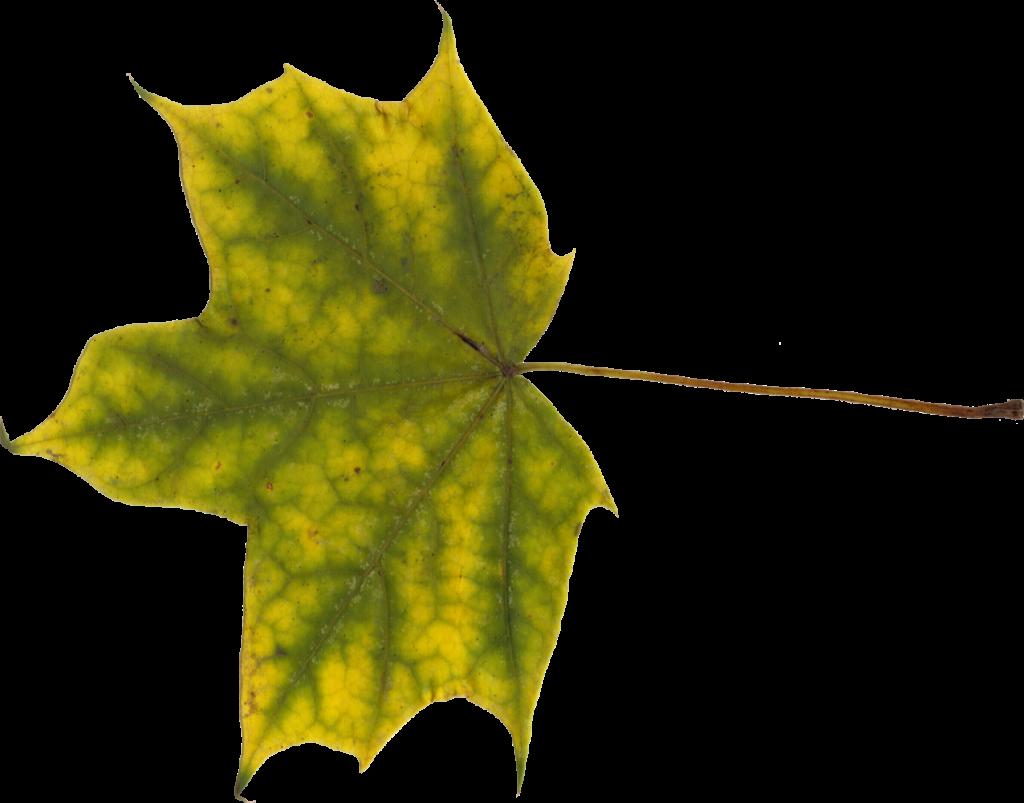 maple-leaf-7