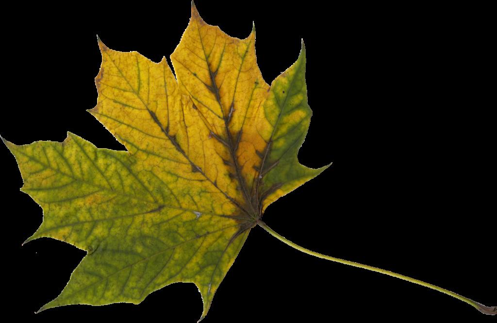 maple-leaf-8