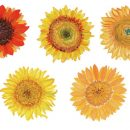 5 Watercolor Sunflower (PNG Transparent)