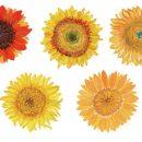5 Watercolor Sunflower (PNG Transparent)