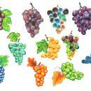 11 Grape Paint Fruit (PNG Transparent)