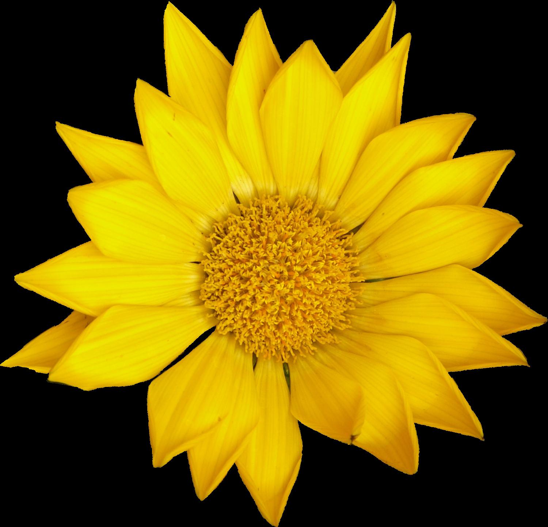 4 Sunflower (PNG Transparent) | OnlyGFX.com