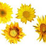 4 Sunflower (PNG Transparent)