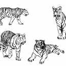 4 Tiger Drawing (PNG Transparent)