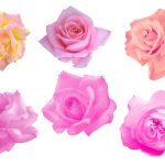 6 Pink Rose (PNG Transparent)