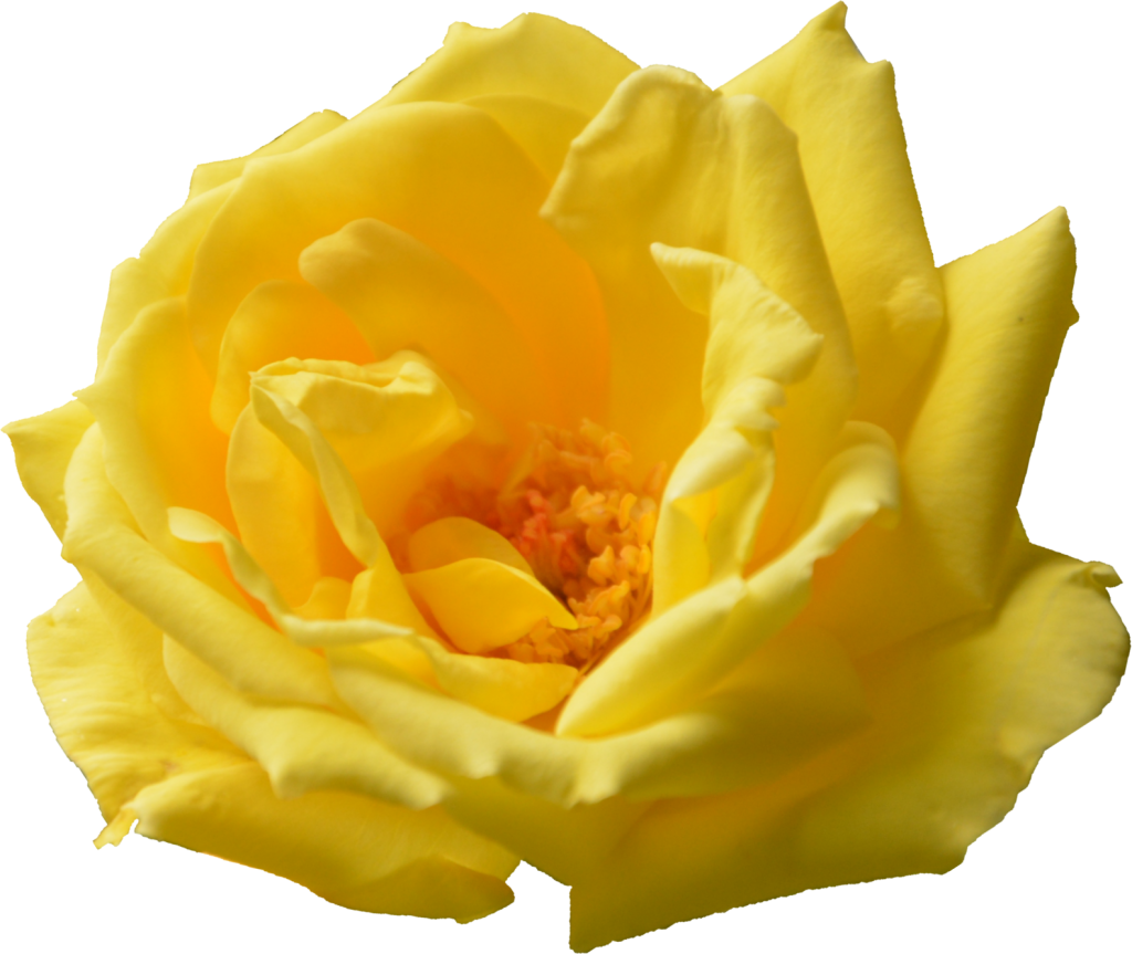 6 Yellow Rose Png Transparent Onlygfx Com