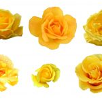 6 Yellow Rose (PNG Transparent)