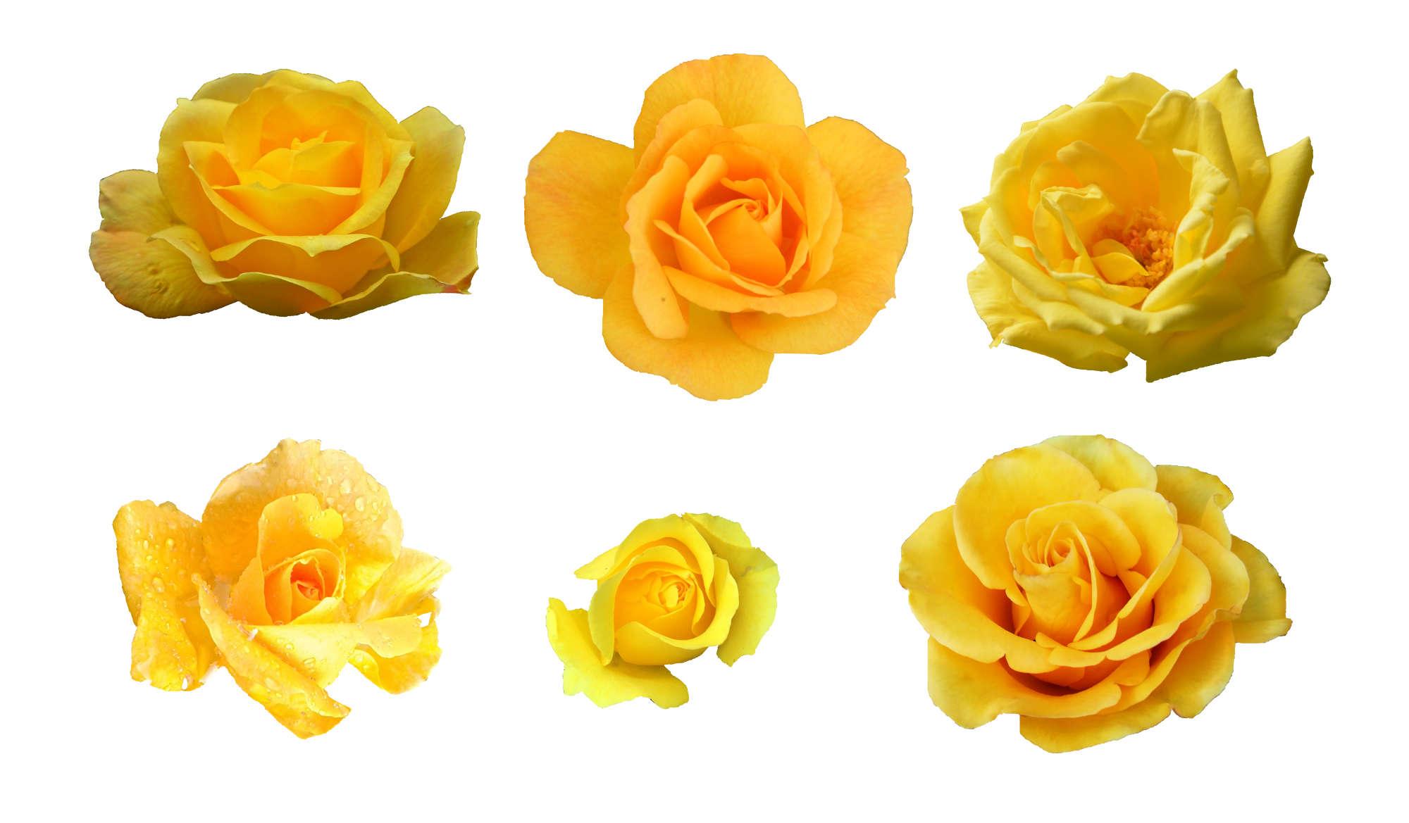 6-yellow-rose-cover.jpg
