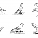 6 Pigeon Drawing (PNG Transparent)