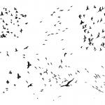 8 Flock Of Birds Silhouette (PNG Transparent)