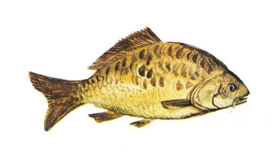 Carp Fish PNG Transparent