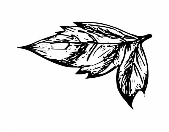 Leaf Drawing PNG Transparent SVG Vector
