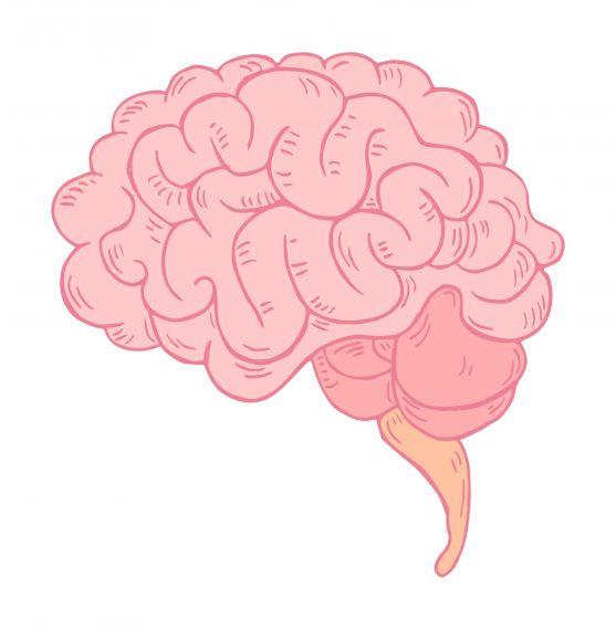 Brain Clipart Side View PNG Transparent