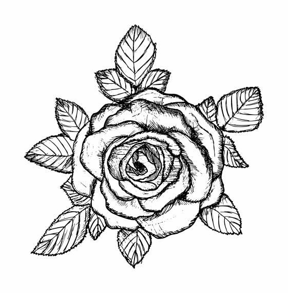 Rose Drawing PNG Transparent SVG Vector